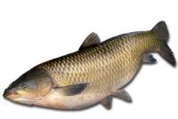 Белый амур - Graskarpfen
