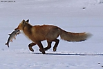 Храбрая лисичка
